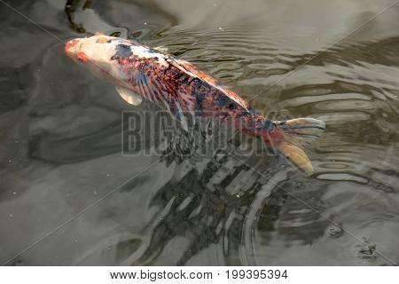 Big Koi Carp in an outdoor fish pond