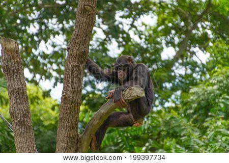 Chimpanzee Hanging On Tree In Jungle Looking Down