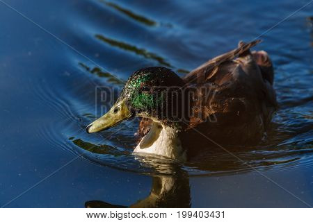 Amazing Mallard Duck Swims In Lake Or River With Blue Water Under Sunlight