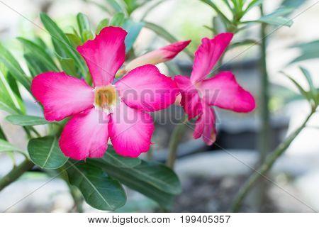 natural flowers Azalea flowers. Impala Lily or Desert Rose or Mock Azalea beautiful pink flower in garden.
