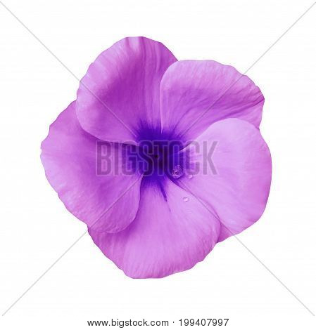 Pink flower on isolated white background with clipping path. Closeup. Beautiful pink-blue flower Violets for design. Nature.
