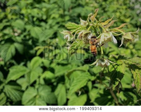 Honey Bee pollinating  and collecting nectar on a raspberry blossom in summer garden closeup Utah USA