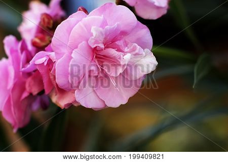 Natural background oleander flowers purchase plan terry pink