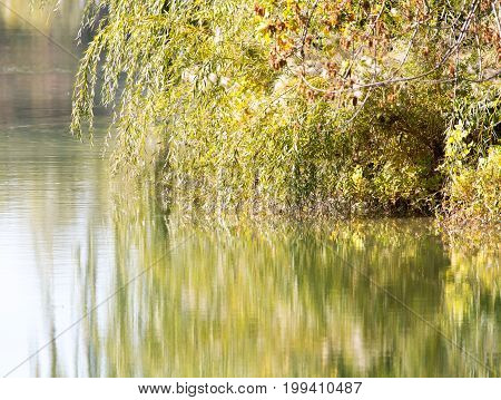 willow branches on the lake . A photo