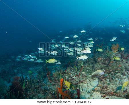 Schooling Cottonwick Grunts on a reef.