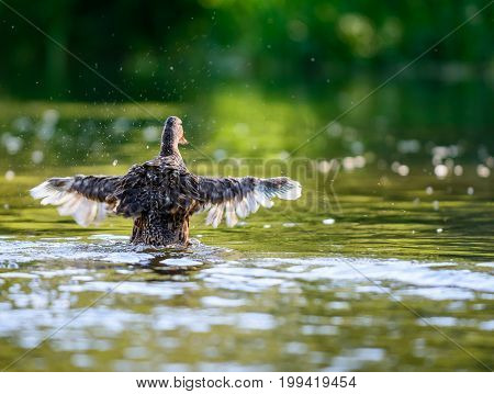 The mallard or wild duck (Anas platyrhynchos) spreading wings