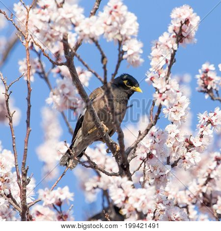 Starling on a tree with flowers . A photo
