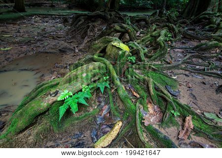 Roots Of Big Tree In Rainforest With Moss And Brook.