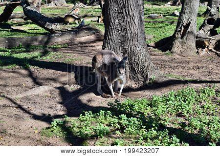 Wild Grey Kangaroo Standing