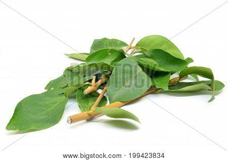 Indonesian Bay Leaf