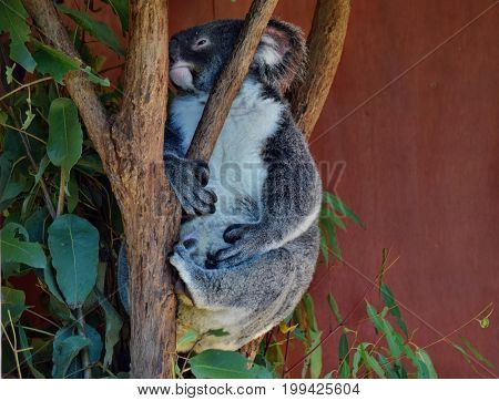 Koala Looking On A Tree Branch Eucalyptus