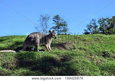 Wild Young Cute Gray Kangaroo
