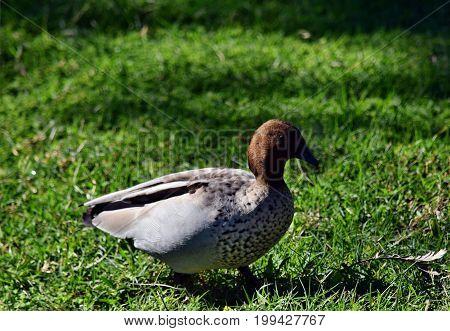 Pretty Australian Duck