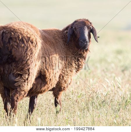 little black sheep in the pasture . A photo