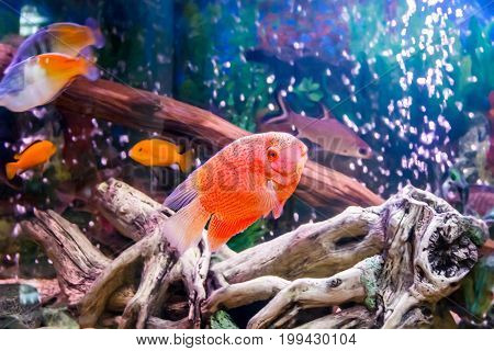 Photo of fish cichlasoma severum red pearl in aquarium and other fish