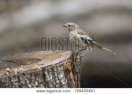 Juvenile Eurasian Siskin Bird Spinus Spinus On Tree Stump In Forest Landscape