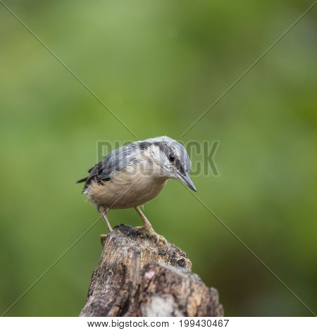 Beautiful Nuthatch Bird Sitta Sittidae On Tree Stump In Forest Landscape Setting
