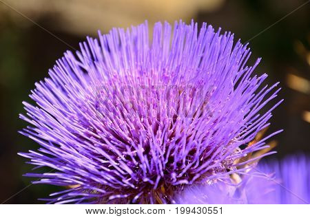 Artichoke flower in foreground, early summer, cynara cardunculus