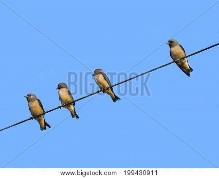 Four birds on the wires with blue sky background.
