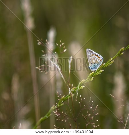 Common Blue Butterfly Polyommatus Icarus On Grass Stem In Summer Meadow