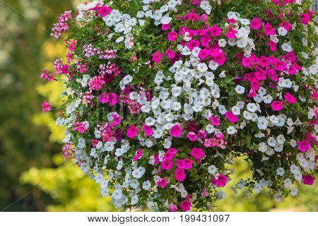Detail of a large and beautiful hanging basket with blooming vibrant pink and white petunia surfinia and geranium flowers