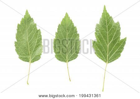 back side of three green leaves from bush isolated on white background