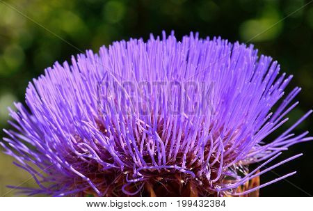 Closeup of beautiful flower, wild artichoke in full splendor