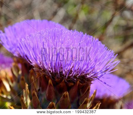 Flower head of wild artichoke in foreground, cynara cardunculus