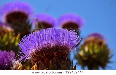 Wild artichoke flower in full splendor, in early summer