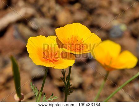 Splendid orange poppies in full bloom, eschscholzia californica