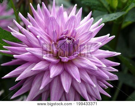 Dahlia flower summer nature purple cactus dahlia flora garden park