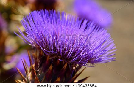 Colorful floral head of wild artichoke in foreground