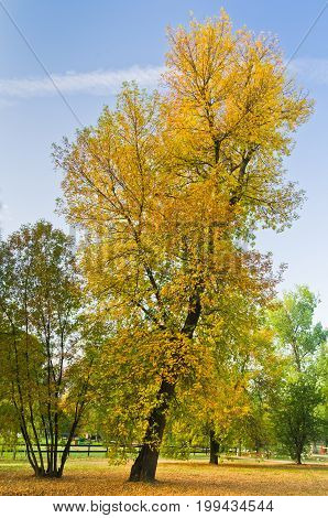 Slanted tree in a park with yellow autumn coat, Belgrade, Serbia