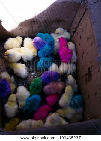 box with dyed chicks at the Zabid market in Yemen