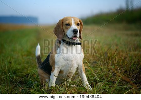 portrait of a Beagle on a walk in the summer on the mown meadow