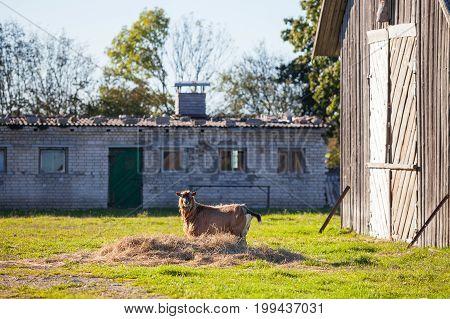 Goat in village yard. Rural scene on Saaremaa island, Estonia
