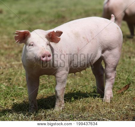 Little pink growing piglet grazing on rural pig farm summertime