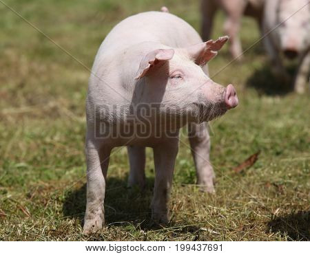 Piglet graze on animal farm summetime. Pigs farming raising breeding in animal farm rural scene