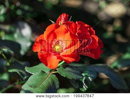 rose flower grade amsterdam, scarlet, glowing flowers are collected in dense clusters, leaves are large, dark green, shiny, two opened flowers in full bloom and one bud, sunlight, grow in park, summer