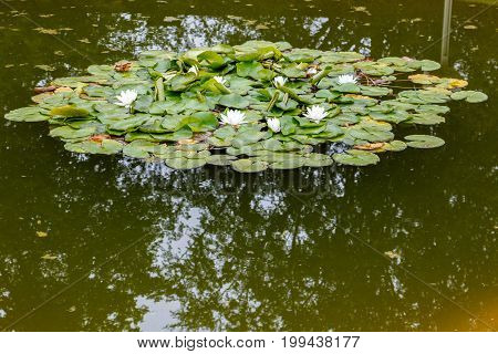 White Water Lilies (nymphaea) With Big Leaves In A Pond