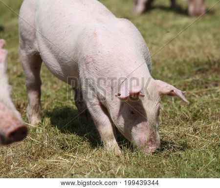Little pink growing piglet grazing on rural pig farm