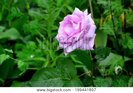 A lilac rose flower is covered with raindrops.