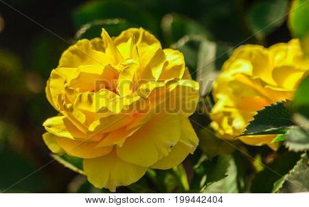rose flower grade princess alice, golden-yellow rose with wavy petals, with bright green foliage, rose with rounded, terry  flowers, sunlight, summer, growing in the garden, one, in bloom,