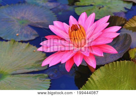 Beautiful pink waterlily flower and leaves blooming in the pond in summer,closeup