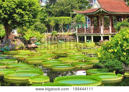 Beautiful garden scenery with lotus flowers,santa cruz waterlily flowers and leaves and pavilion in the pond in summer