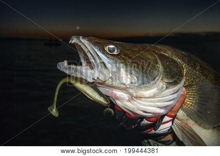 Big zander fish in hand of fisherman