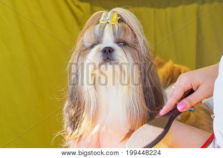 Shih Tzu, Grooming dogs professional master. Dog show. 2018 year of the dog in the eastern calendar Concept: parodist dogs, dog friend of man, true friends, rescuers.