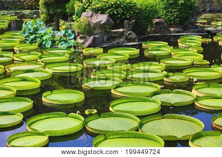 Beautiful scenery with lotus flowers,santa cruz waterlily leaves and buds growing in the pond in summer