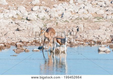 A young impala ram (Aepyceros melampus) and a young springbok (Antidorcas marsupialis) in a waterhole in Northern Namibia