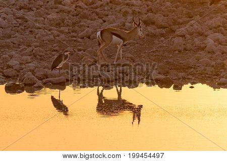 A springbok and a grey heron with reflections in the last rays of the setting sun at a waterhole in Northern Namibia